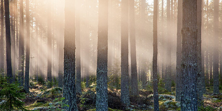 Pine forest and beautiful light